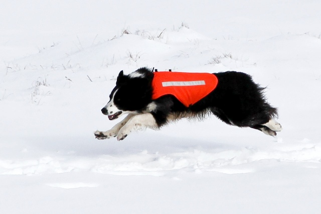 Enthusiasm known no bounds - Border Collie 'Mist' airborne on a 'run-out'