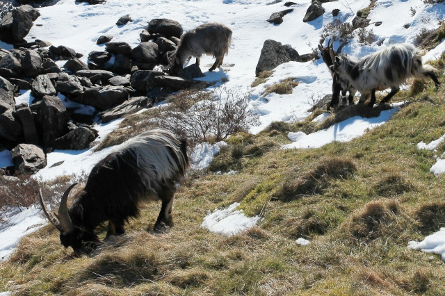 Wild goats at Ogwen down near the road, looking for grazing after the March blizzards (JB)