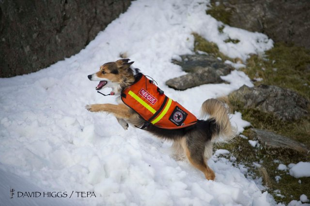 Border Collie 'Cluanie' searching for a buried victim