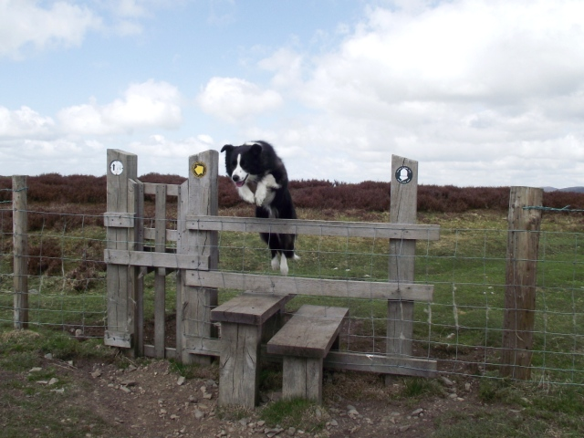 .... but Border Collie's don't use stiles
