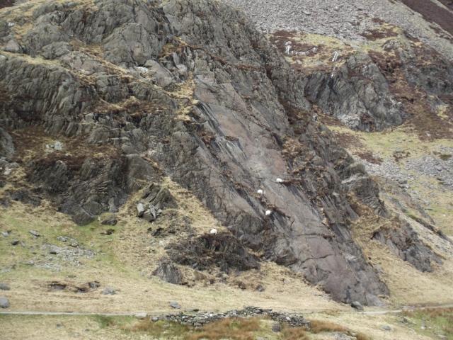 Rock-climbing sheep near the Gladstone Rock