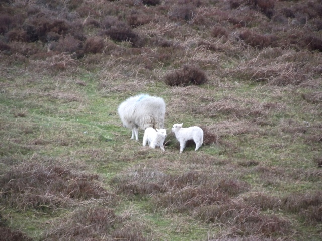 Possibly the calmest hill sheep I have seen