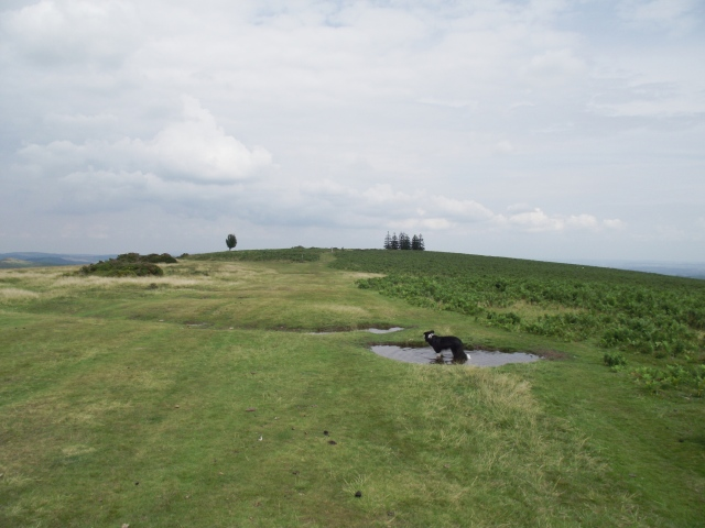 Border Collie 'Mist' chilling out on Hergest Ridge