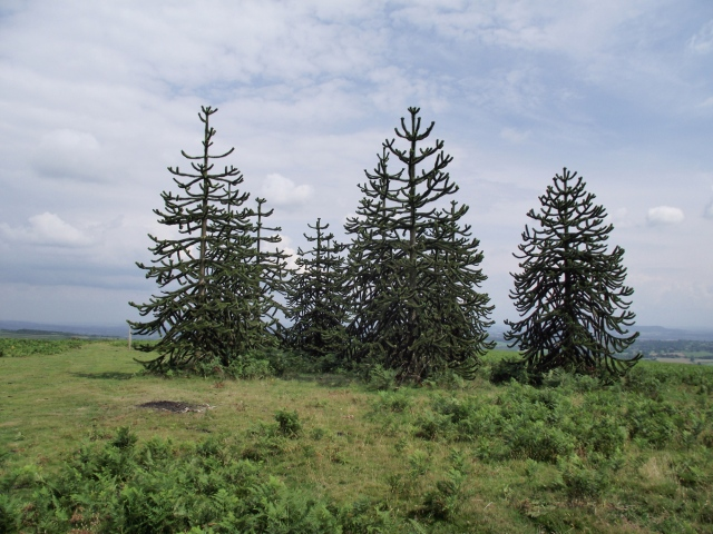 Monkey Puzzle trees at the racecourse summit