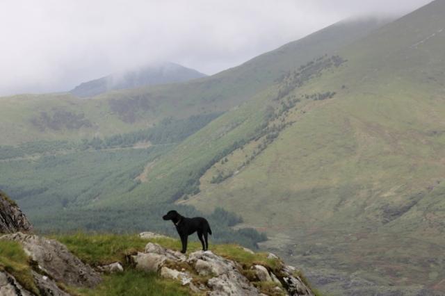 Black Labrador 'Indy' at work (RA)