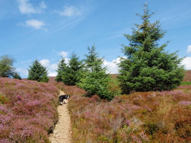 'Escaped' fir trees