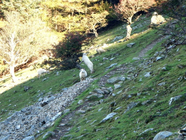 On the way up – a tree-climbing sheep!