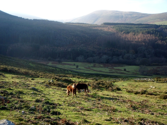 Checking out the locals – wild Carneddau ponies