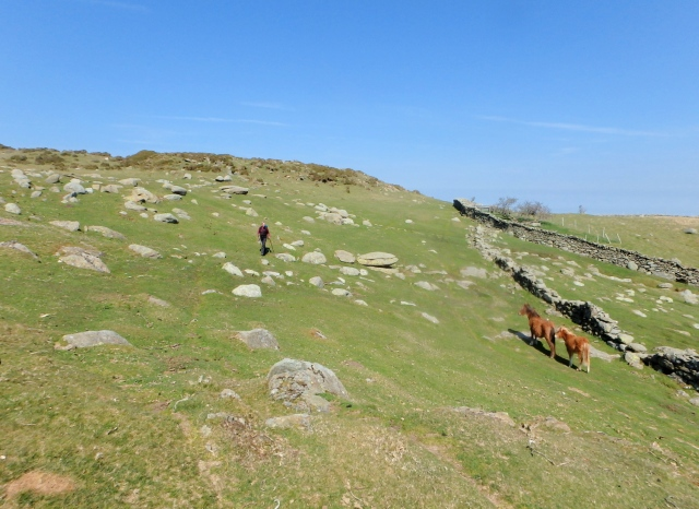 Chris below Caer Bach, with wild ponies (mare and foal)