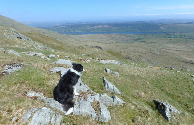 Border Collie 'Mist' enjoying the view (or thinking about dinner time!)