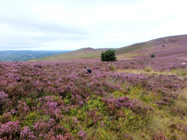 Why take a boring way down when there's deep heather?