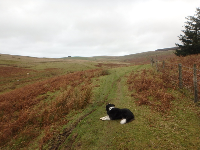 Border Collie 'Mist' surveys the route ahead