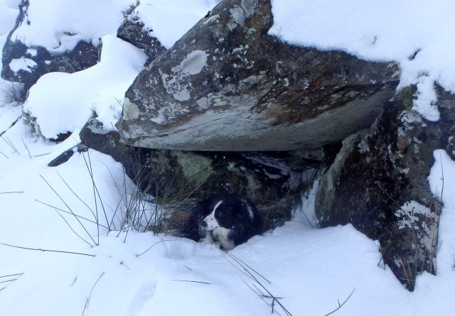 Border Collie 'Mist' finds a spot for a lie down ….