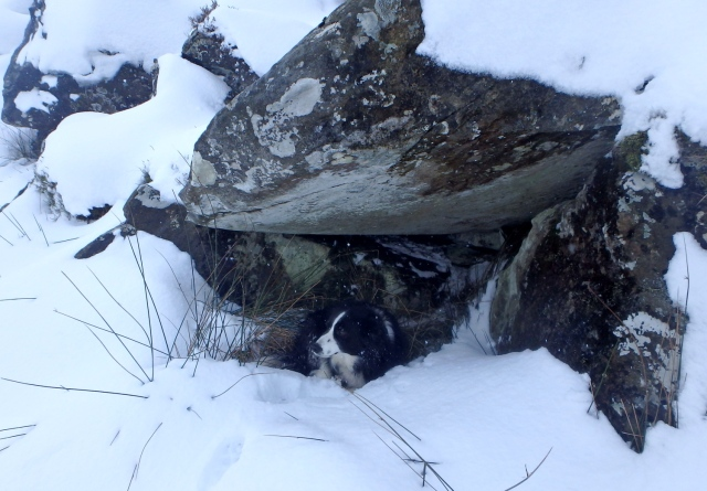 Border Collie 'Mist' finds a spot for a lie down ….