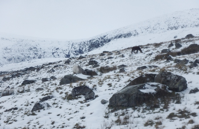 Local residents – Carneddau ponies managing to find some grazing