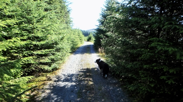 On the forestry track, heading for home