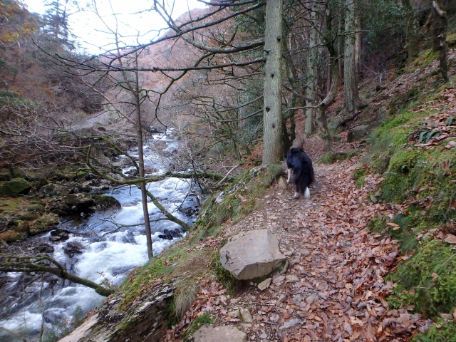 Border Collie 'Mist' at the start of the Fisherman's Path, Aberglaslyn ….